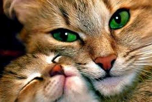 Домашние_кошки